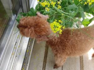 菜の花&クラウド
